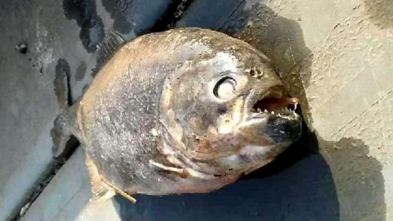 O mistério das 'piranhas impossíveis' encontradas em lago na Inglaterra