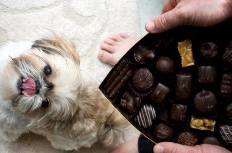 Entenda por que chocolate é venenoso para cães
