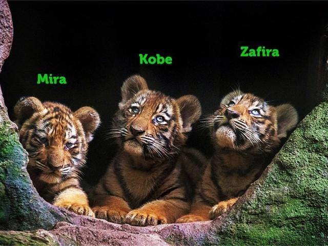 Filhotes de tigre siberiano nascidos no zoo de Itatiba ganham nomes após campanha nas redes sociais