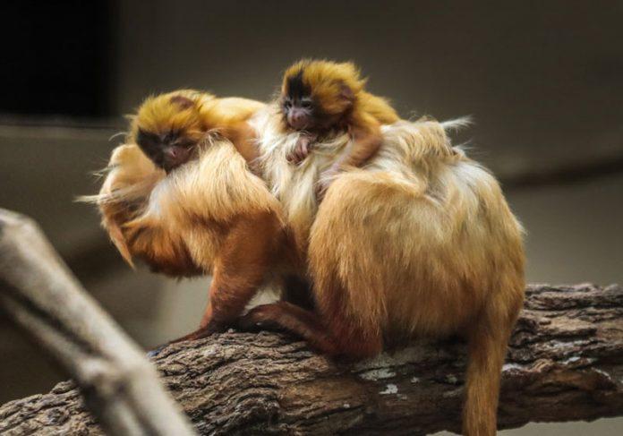 Filhotes de mico-leão-dourado em extinção nascem em SP