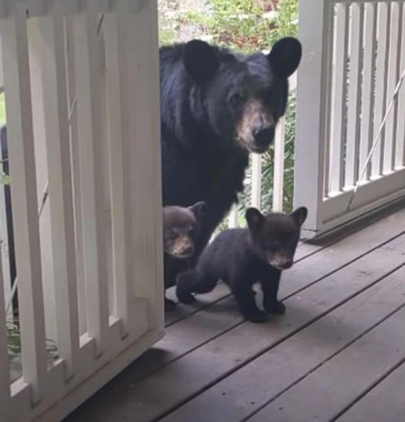 Ursa tem filhotes e leva os bebês ao quintal de amigo humano para apresentá-los!